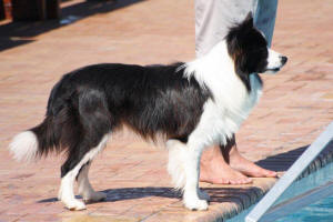 cody border collie