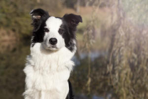 gripen border collie