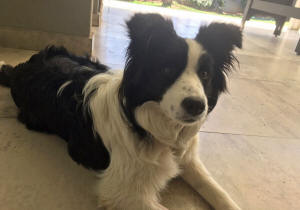 savanna border collie