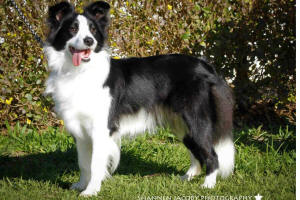 stellar border collie
