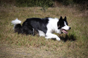 triss border collie