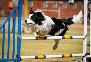 Aqua border collie