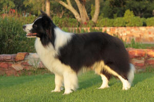 bault border collie