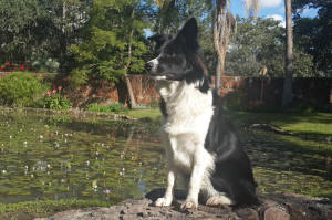 holly border collie