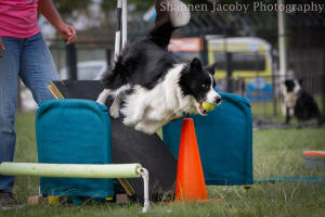 west border collie