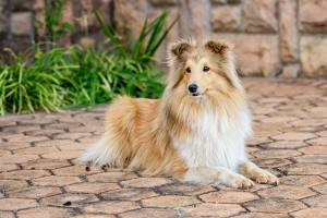 pixie sheltie south africa