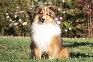 danny boy sheltie sable south africa
