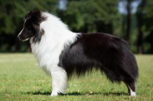 asher black and white sheltie south africa bi black