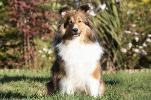 lana sable sheltie south africa