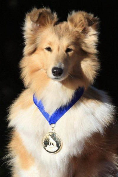 winning sheltie q
