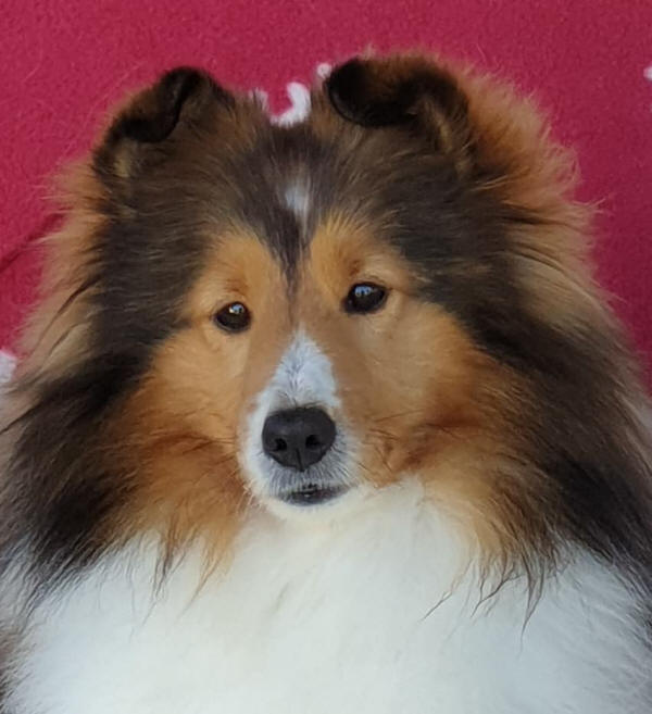 miley sheltie