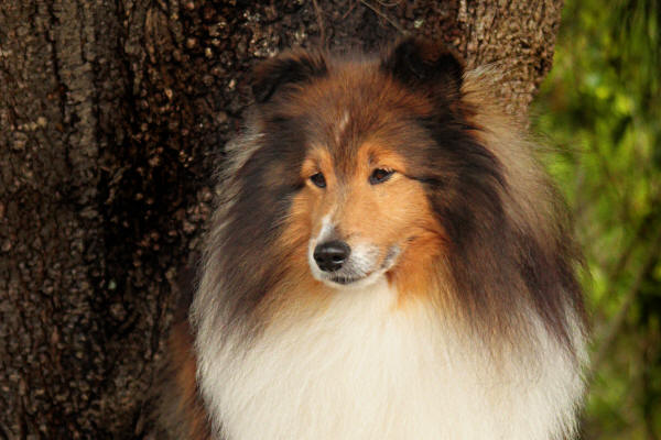 kusa national sheltie 2019