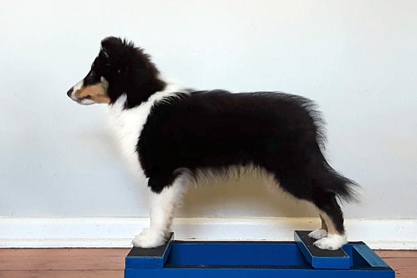 hush tri sheltie puppy south africa