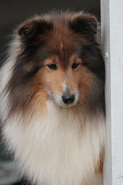 Reece sable sheltie