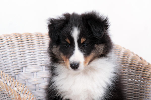 tri sheltie south africa puppy hush