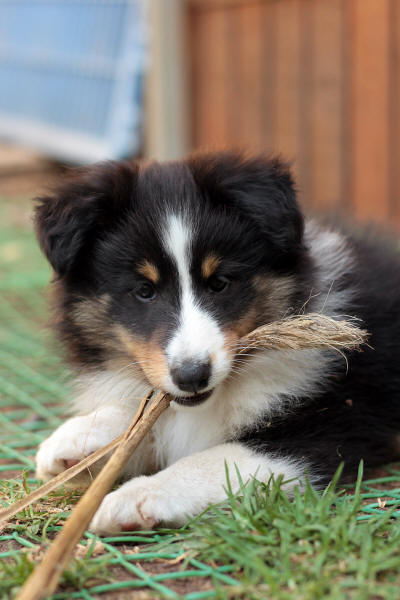 tri sheltie puppy south africa