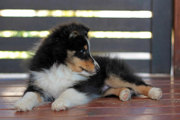 hush tri sheltie puppy