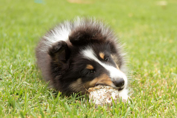 shetland sheepdog tri colour puppy south africa