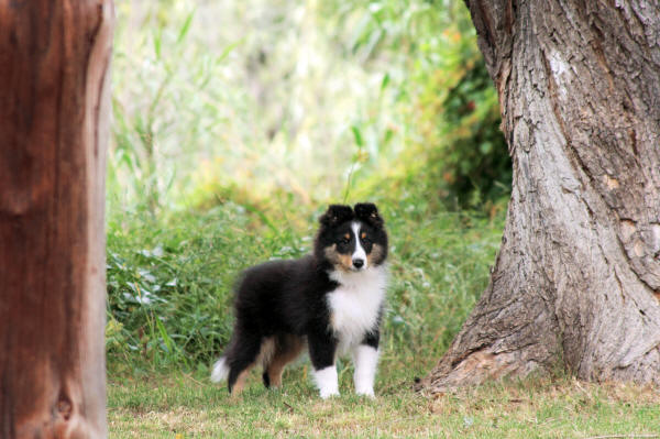tri sheltie south africa hush