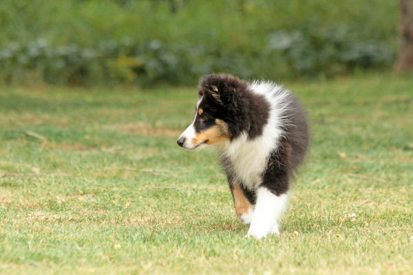 hush sheltie south africa tri shetland sheepdog