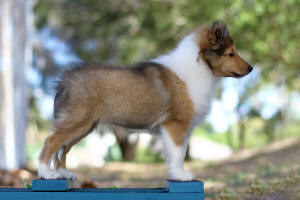 sable sheltie south africa