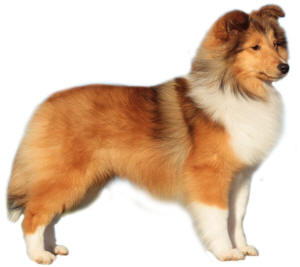 shetland sheepdog puppy sheltie south africa