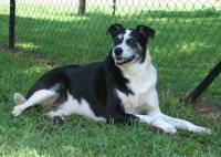 border collie rescue south africa available