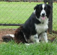 border collie rescue south africa