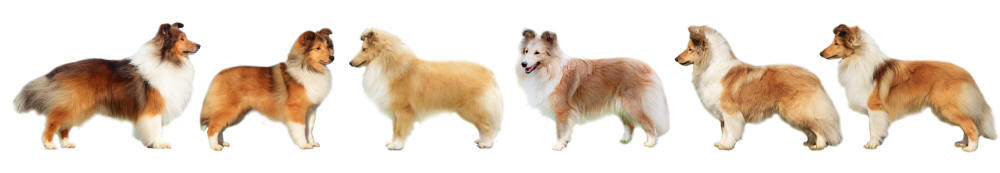shetland sheepdog shelties puppies south africa