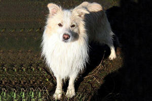 cloud border collie
