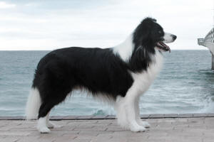 Rush border collie