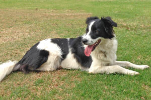 Topaz border collie