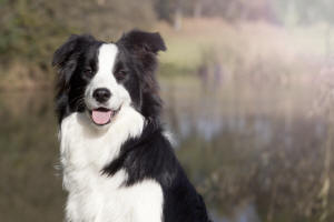 mackland border collies & shetland sheepdogs
