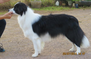 kelso borde collie