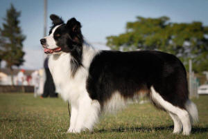 Legend border collie