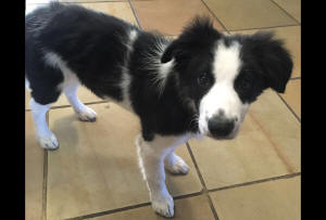 Samora border collie