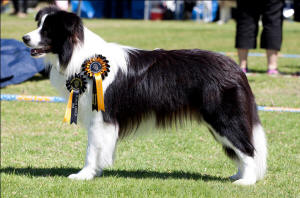 zest border collie